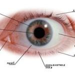 схема строение глаза человека